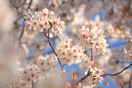 20110410sakura06.JPG